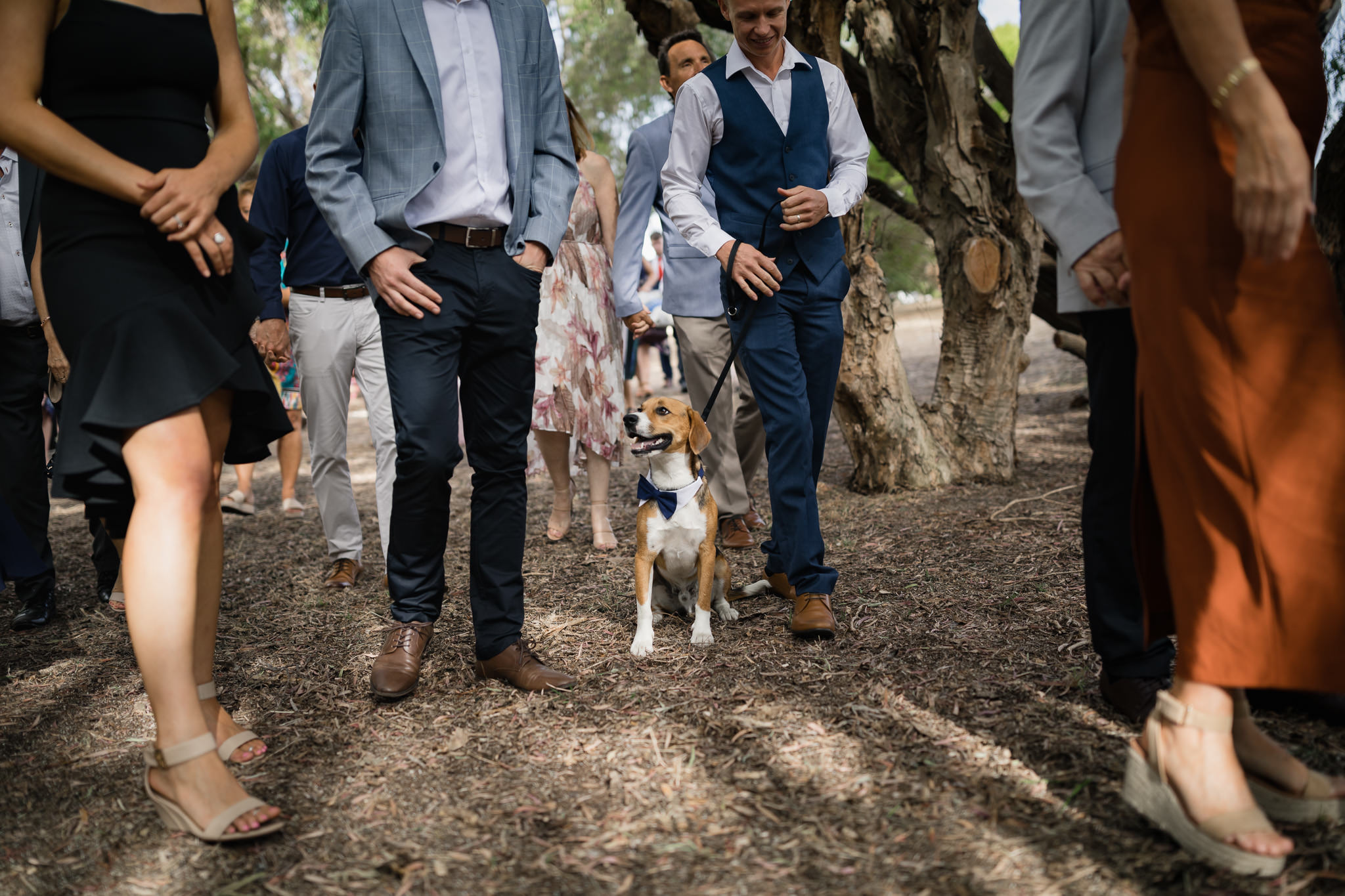 Beagle dog with bow tie walking with guests at outdoor wedding ceremony